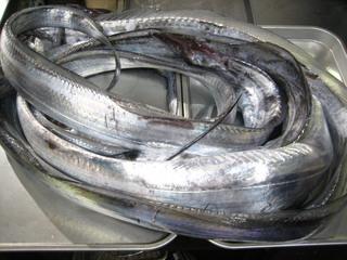 20111214 太刀魚.jpg