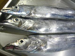 20121029 太刀魚.jpg